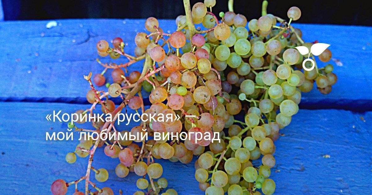 Описание винограда коринка русская