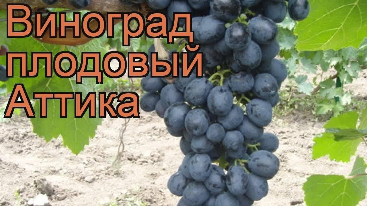 Виноград аттика: описание сорта и его фото, особенности и характеристики, нюансы выращивания, болезни и вредители