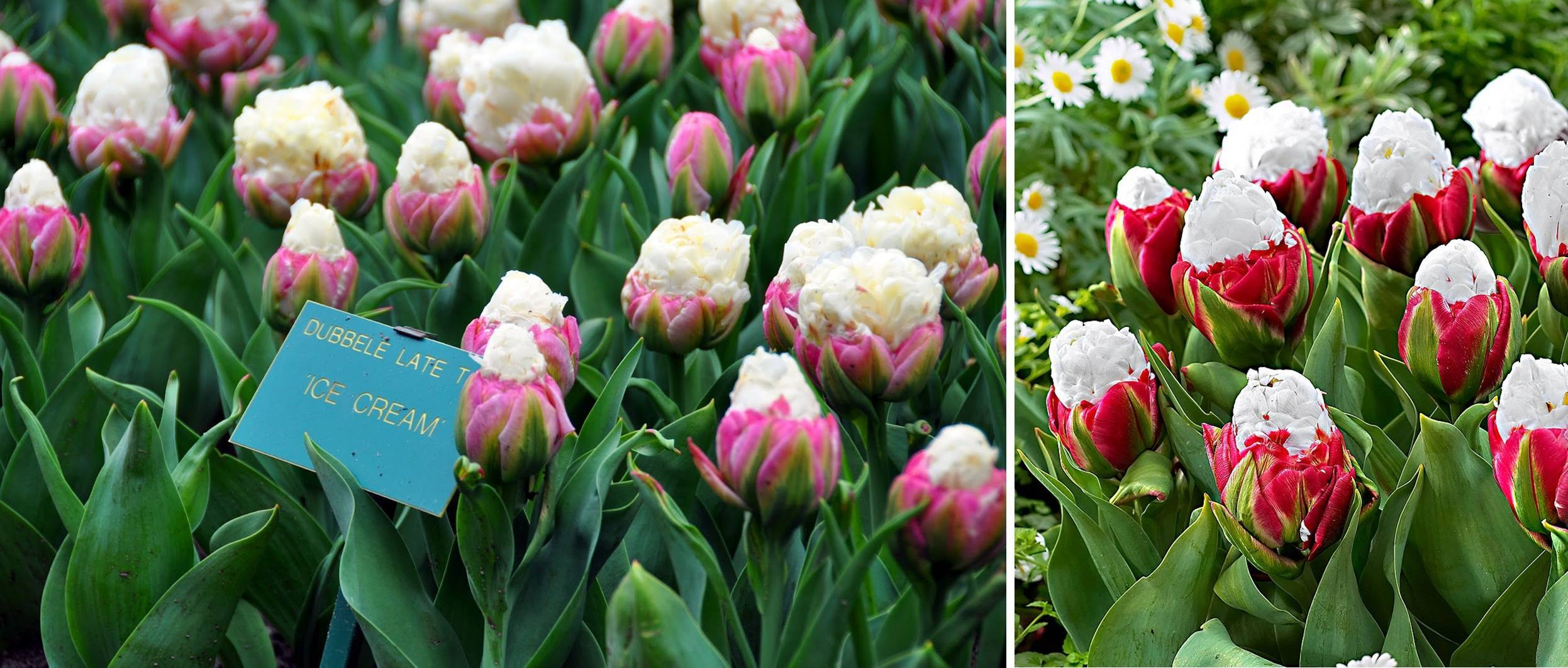 10 лучших сортов тюльпанов для выгонки (названия, фото, описания)