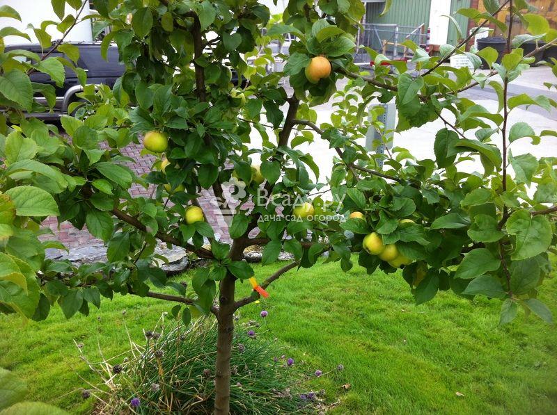 Можно ли вырастить яблоню из семечка, и как добиться хорошего урожая