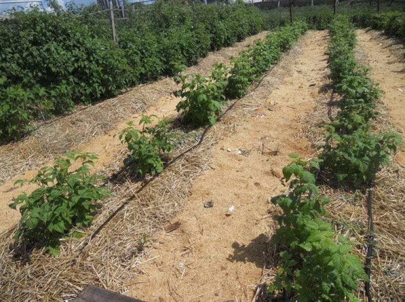 Как часто поливать малину — советы для обильного урожая.