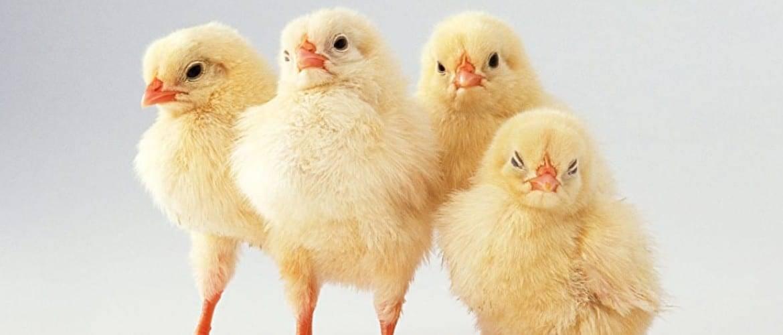 О препарате дитрим для цыплят бройлеров: инструкция по применению, доза