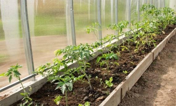 Чем подкормить помидоры после высадки в теплицу - рецепты, средства