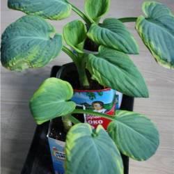 Причины пожелтения листьев хосты – описание основных способов лечения растения