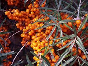 Размножение облепихи: 6 способов получения посадочного материала