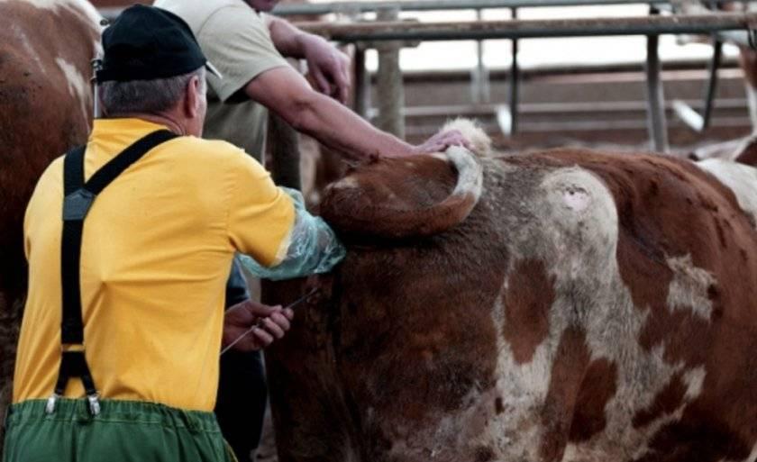 Сколько корова вынашивает телёнка