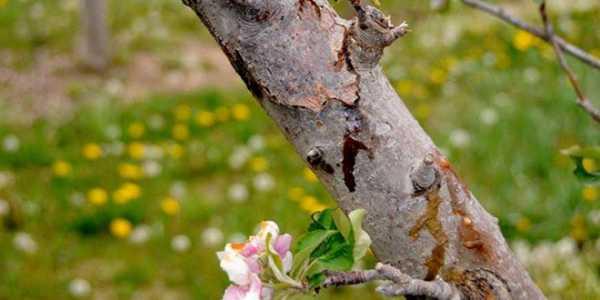 Бактериальный ожог груши: симптомы, методы лечения. как происходит инфицирование груши бактериальным ожогом