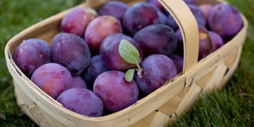 Анна шпет», слива: описание сорта, особенности выращивания и отзывы