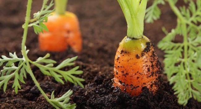 Всхожесть семян, сроки всходов и созревания овощных культур