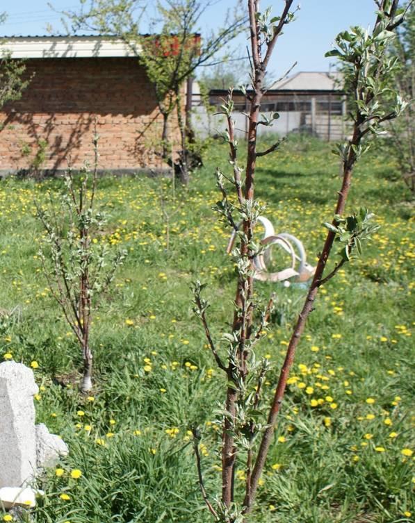 Замерзла верхушка у колоновидной яблони – что делать и как дальше ухаживать