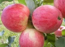 Яблоня конфетное: описание и посадка
