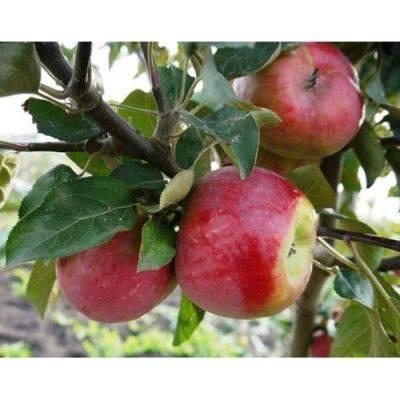 Самые лучшие сорта зимних яблок: описание, фото, рекомендации по выращиванию