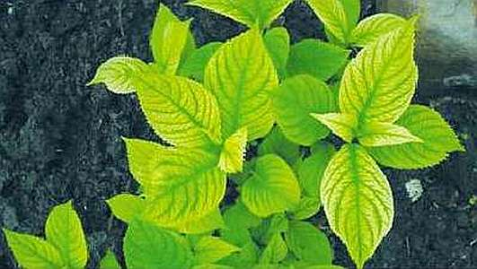Гортензия болеет: почему у гортензии желтеют и сохнут листья, и что делать