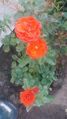 Очаровательная роза эль торо на дачном участке: тонкости посадки и ухода
