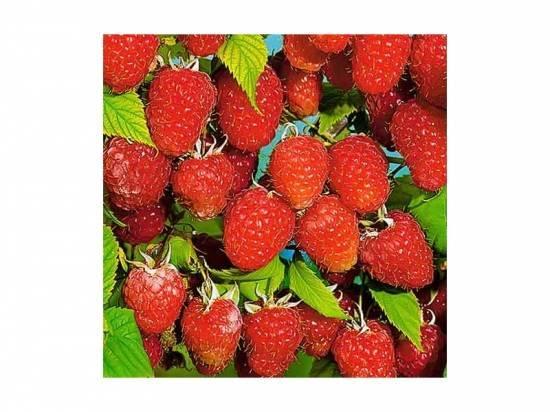 Когда начинает плодоносить малиновое дерево после посадки. малиновое дерево таруса — самый урожайный сорт. выращивание и уход за малиновым деревом