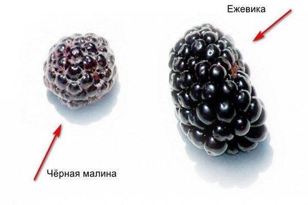 Чем отличается ежевика от черной малины?