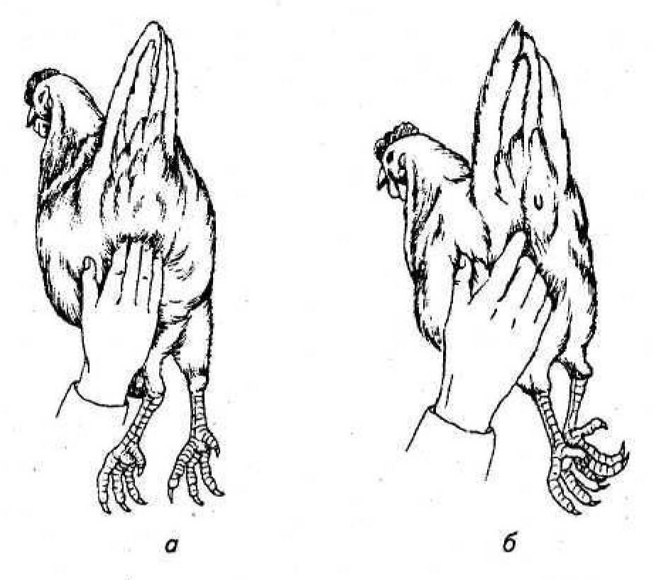 Как узнать что курица старая