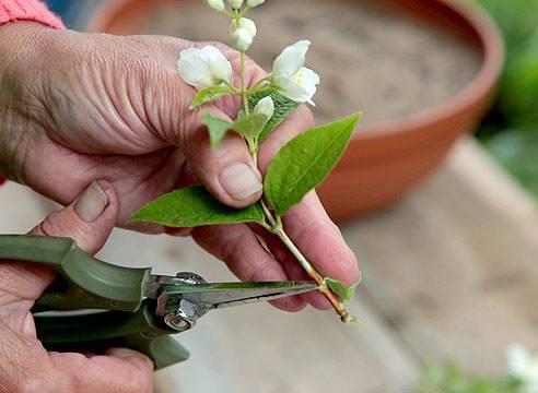 О размножении жасмина черенкованием: инструкция, лучшее время для рассаживания