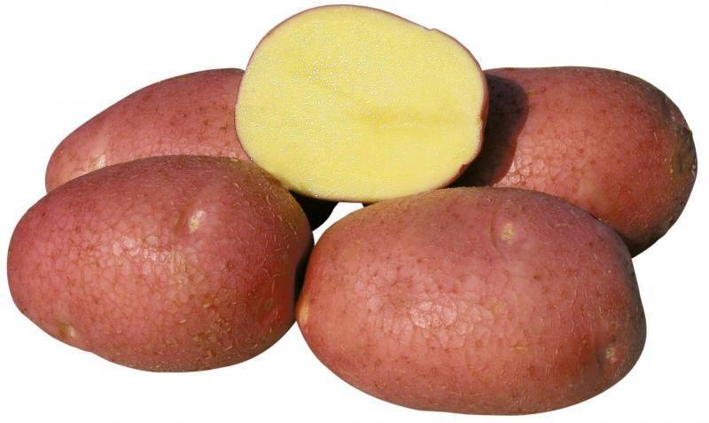 Картофель беллароза - характеристика и описание сорта, выращивание