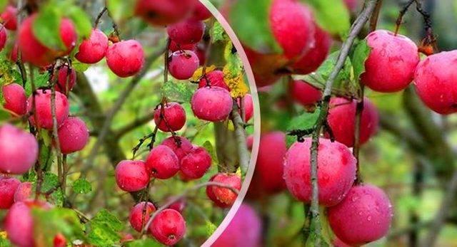 Об одном секрете садоводов-опытников в агротехнике яблони