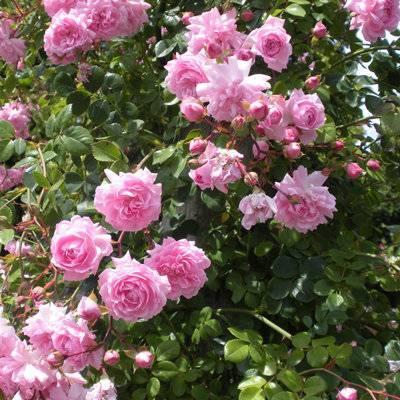 Rosa 'queen elizabeth' википедия