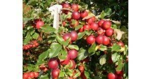 Декоративная яблоня – роялти, недзвецкого, хелена, рудольф, малиновка и другие сорта