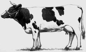 Холмогорская порода коров: описание и характеристики, уход