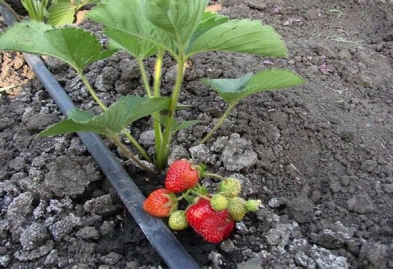 Как часто поливать клубнику, чтобы получить обильный урожай - общая информация - 2020