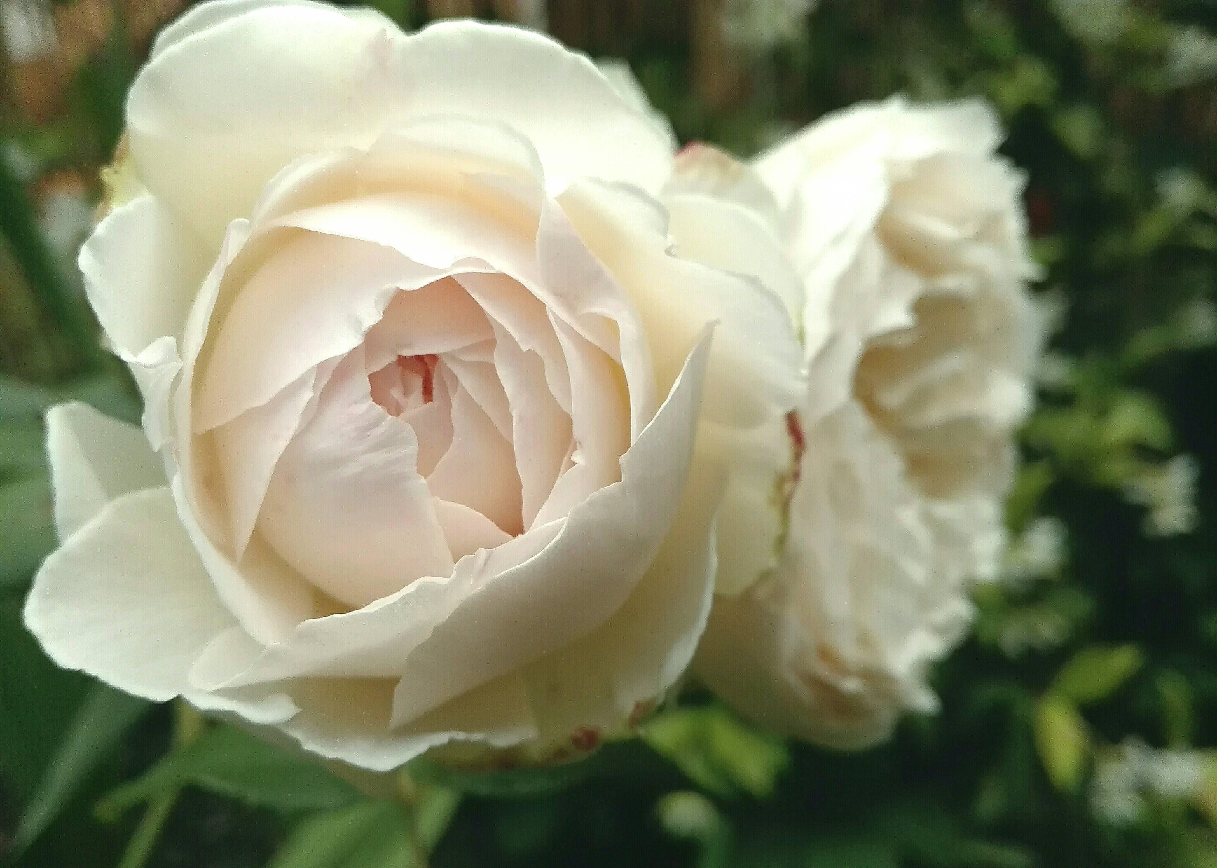 Английская роза клэр остин