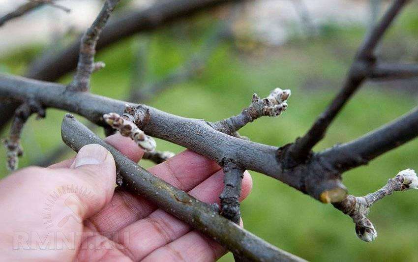 Паразитарная прививка дерева – выбор начинающего садовода