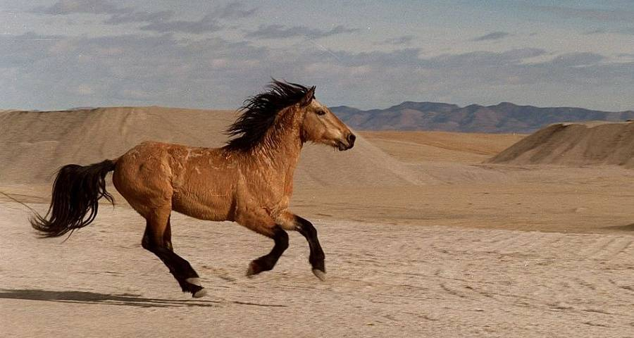 Как получить самую лучшую лошадь в red dead redemption 2: породы лошадей, цены, характеристики, как чистить, приручать, воскрешать и прокачивать лошадь