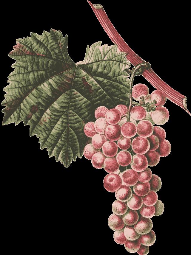 Как сохранить черенки винограда зимой,чтобы получить отличные саженцы весной?
