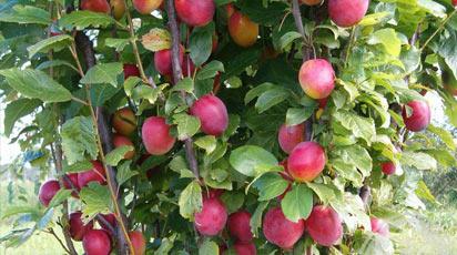 Мода на колоновидные плодовые деревья – оригинальность в сочетании с пользой