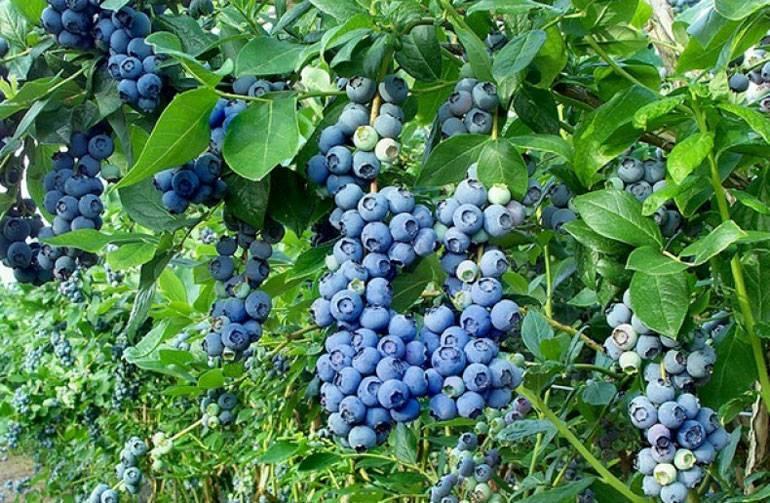 Голубика садовая, правильная посадка и уход для отличного урожая