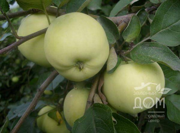 Сорт яблонь янтарь: описание и общая информация о дереве и плодах, фото и особенности выращивания