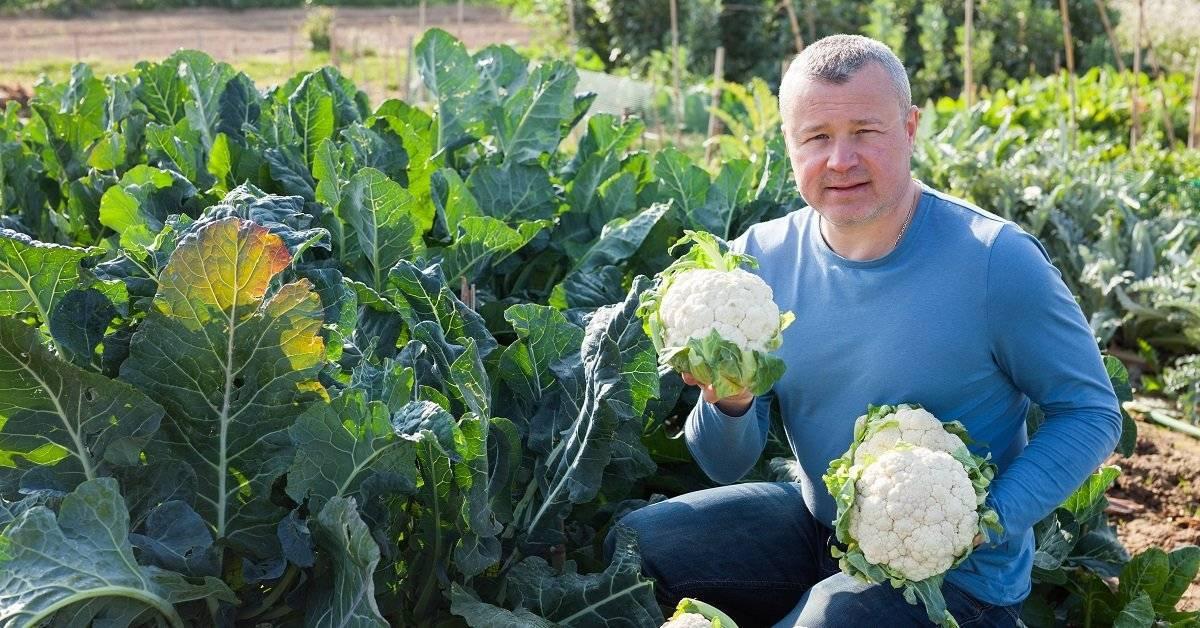 Чем подкормить капусту после высадки в грунт - удобрения для цветной, белокочанной капусты и брокколи