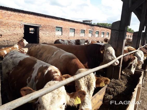 Самые большие быки и коровы в мире (29 фото): самый огромный домашний скот, самый крупный и тяжелый бык за всю историю, рекордсмены в россии и австралии