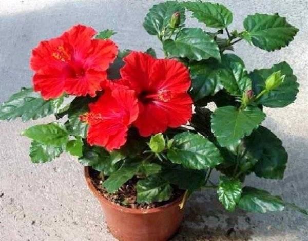 Можно ли гибискус держать дома: разрешено ли выращивать комнатный цветок в квартире, ядовит он или нет, почему иногда нельзя и как выглядит на фото в интерьере?