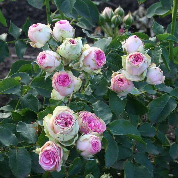 О розе dinky: описание и характеристики, выращивание сорта мускусной розы