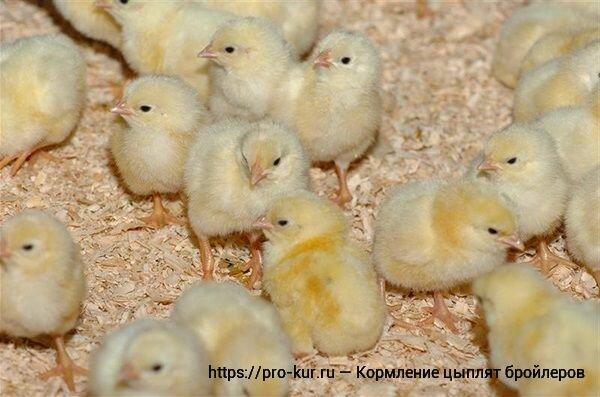 Бройлеры: выращивание в домашних условиях, кормление цыплят