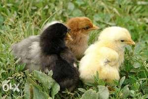 Правила кормления цыплят