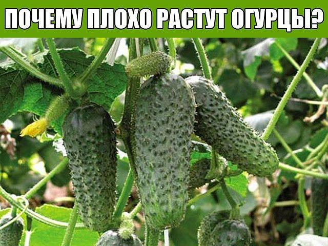 Плохо растут огурцы в теплице что делать