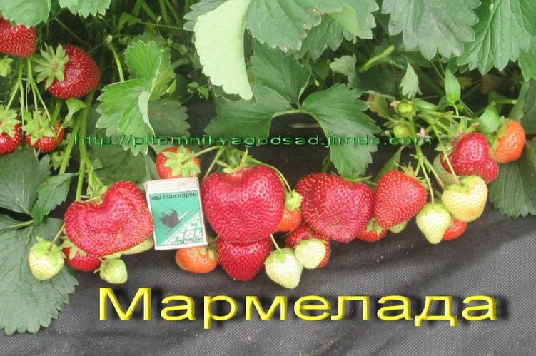 Клубника мармелада: 130 фото и видео посадки и выращивания особого сорта клубники