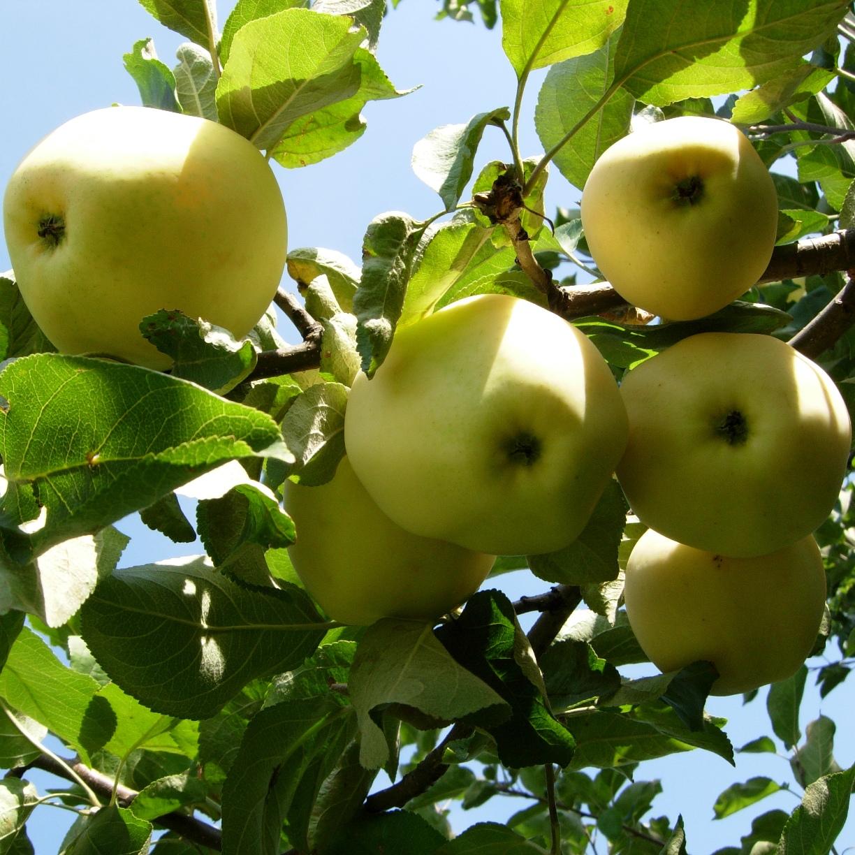 Белый налив – чудесный сорт яблони
