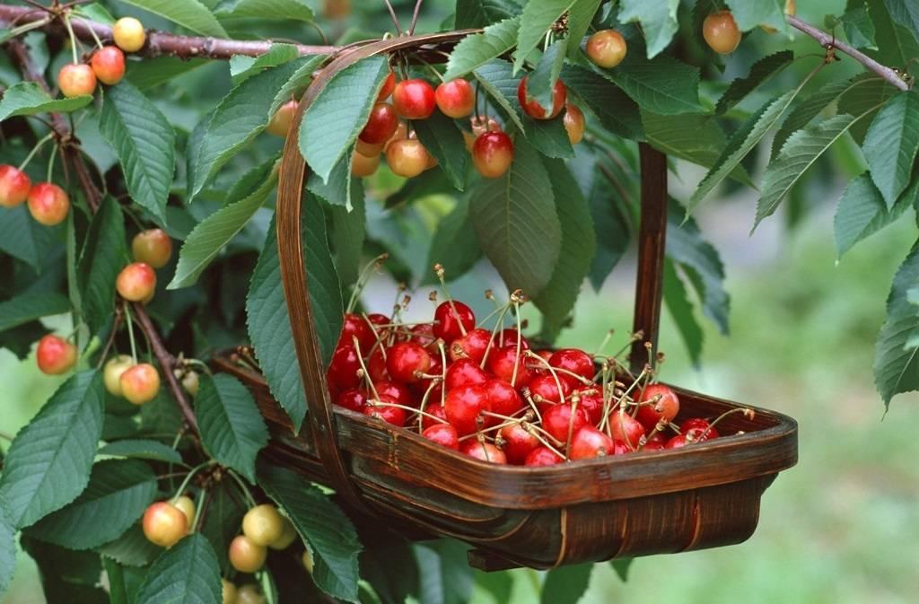 Вредители вишни и черешни – как распознать и бороться