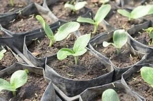Выращивание рассады кабачков и посадка в открытый грунт