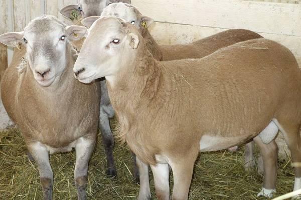 Овца — узнайте все о содержании овец, особенности условий содержания, рацион питания и главные характеристики овец как домашнего питомца!