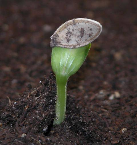 Как выращивать кабачки на грядках