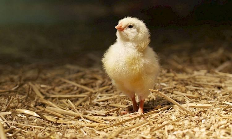 Болезни цыплят и молодых кур: диагностика и лечение