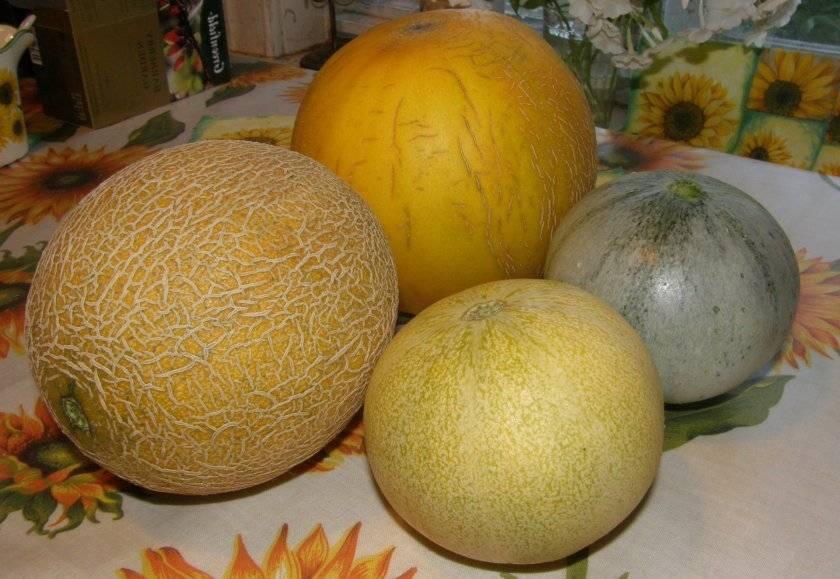 Все о сорте дыни Колхозница: описание, посадка в теплице и открытом грунте